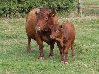 Red Dexter Cow with calf